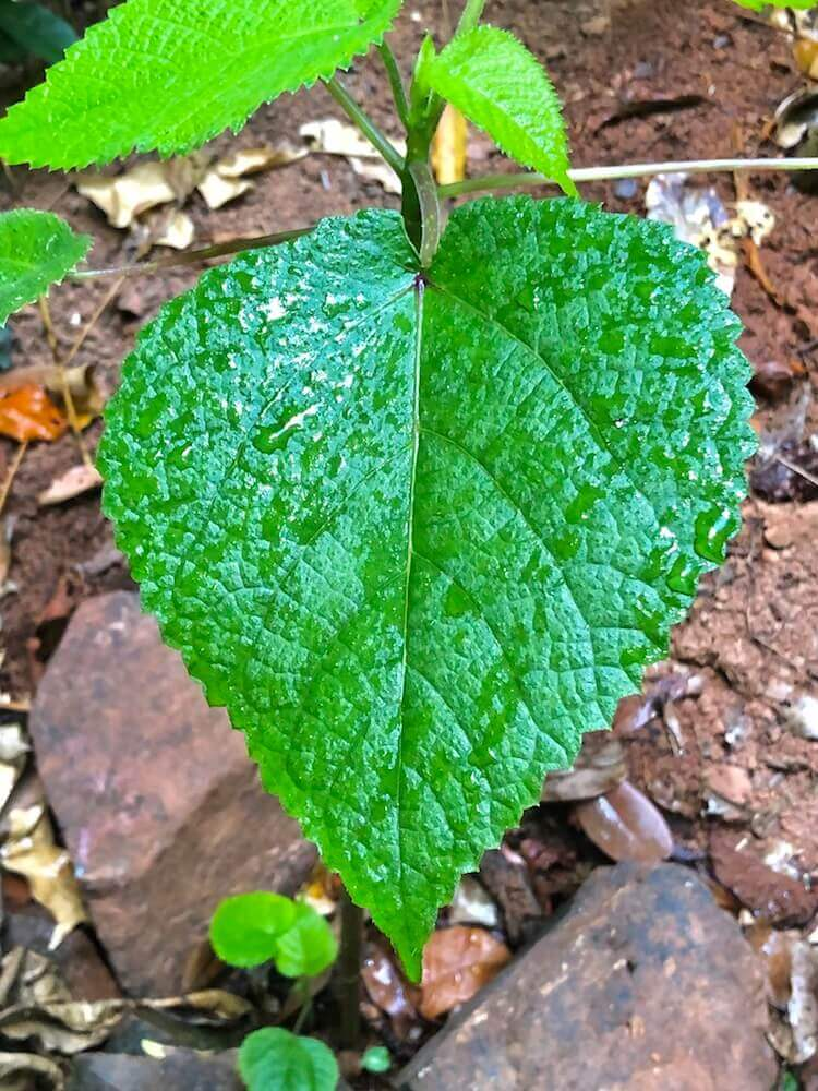 "Daintree National Park, Queensland: This simple plant might look armless (think again!). It is one of the world's most toxic plants. A simple touch to the ""Dendrocnide moroides"" can cause unbearable pain that can last years... Early settlers tell of horses being driven to self-destruction as a result of contact with the plant. No kidding!"