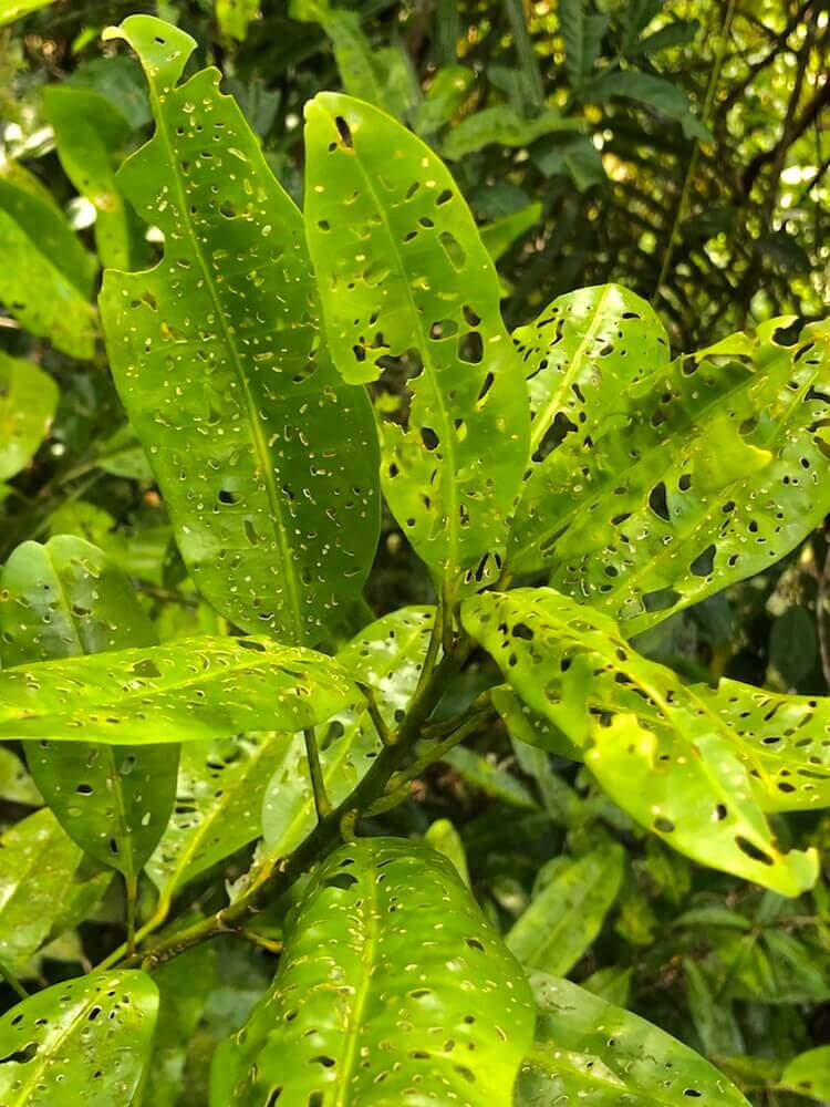 Daintree National Park, Queensland: Those holes on the leaf might look like the work of some insect, but they are a natural way to provide light to its lower leaves. A great way to make sure everyone has a bit of sunshine.