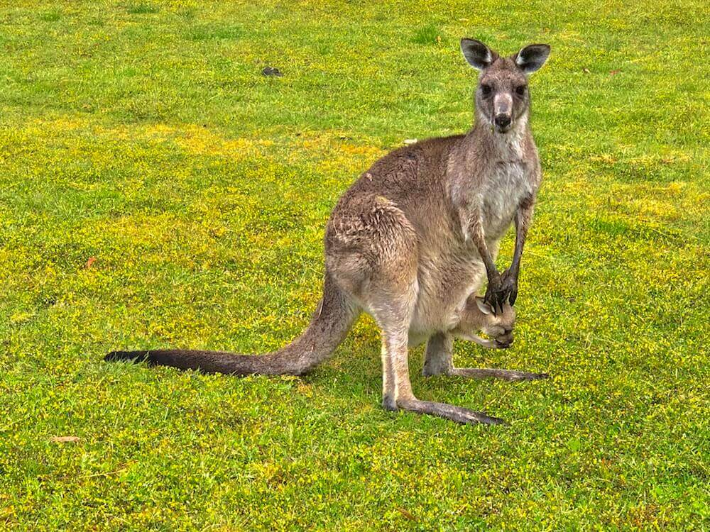 Wildlife: One of the most iconic animals of Australia... A kangaroo (this one carries a baby).