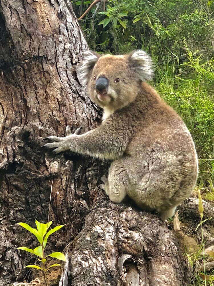 Wildlife: A Koala... How can you not love those sweet and defenseless animals?