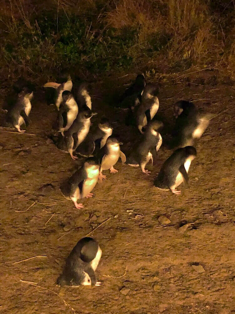 Phillip Island, Victoria: What they call the Pinguin Parade is the return of nearly 3000 little penguins coming back from their hunt to feed their young at sunset. Phillip Island has the largest community of the world's smallest penguin (30cm in height, 1kg in weight, 100% cute).