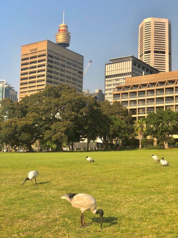 Sydney, New South Wales: Downtown (Australian white ibis is the name of the birds on the picture).