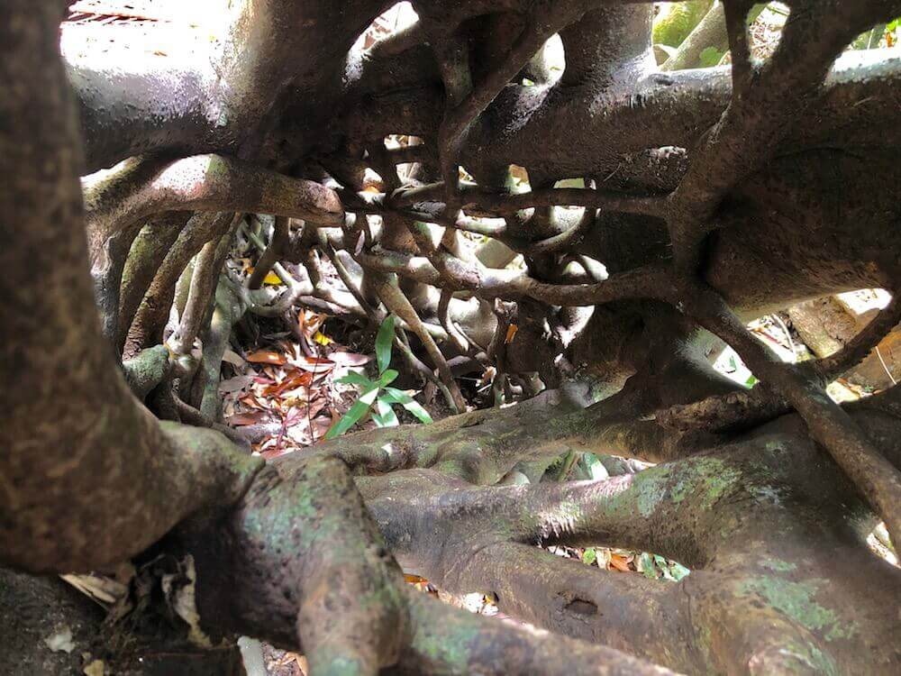 Daintree National Park, Queensland: This is inside the trunk of a tree that grows like intertwined roots.